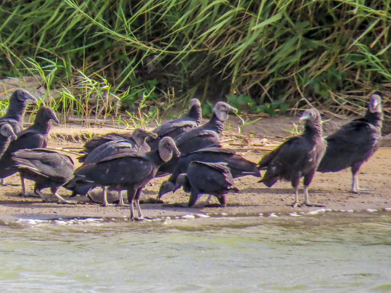 Black Vulture, Rio Grande River, Mission TX