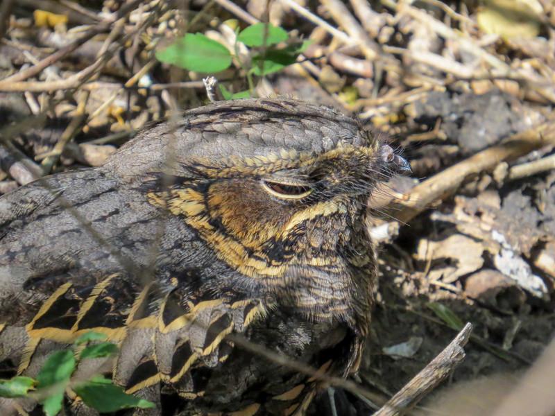 Common Paraque, Estero Llano Grande SP / World Birding Center, Weslaco TX