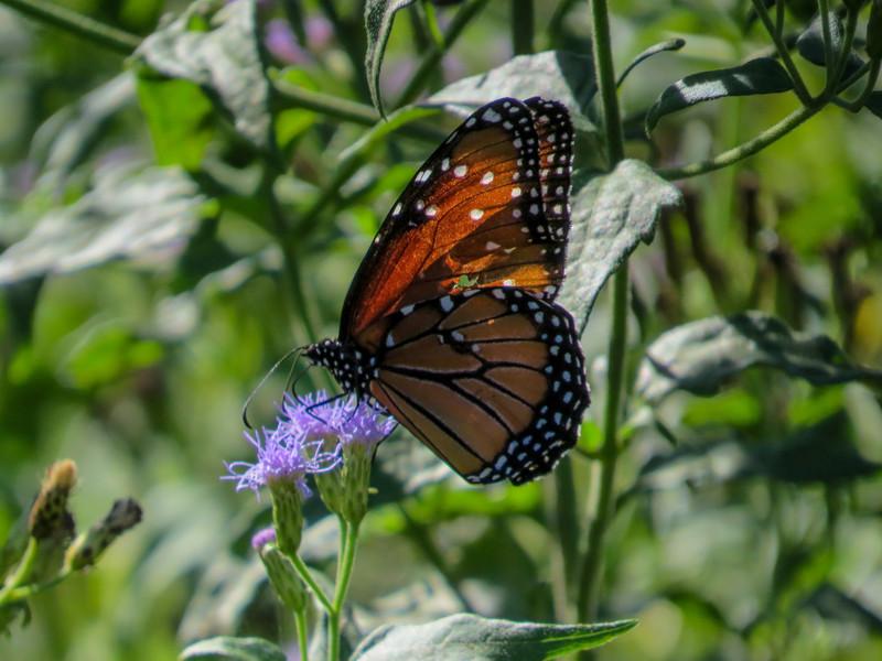 Solider Butterfly, Estero Llano Grande SP / World Birding Center, Weslaco TX