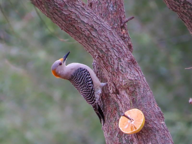 Golden Fronted Woodpecker, Estero Llano Grande World Birding Center, Weslaco TX
