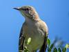 Northern Mockingbird, Estero Llano Grande SP / World Birding Center, Weslaco TX