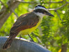 Great Kiskadee, Estero Llano Grande SP / World Birding Center, Weslaco TX