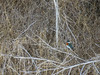 Green Kingfisher, Rio Grande River, Mission TX