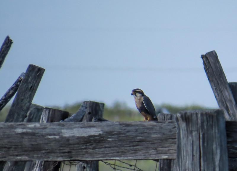 Alpomado Falcon, Old Port Isabella Rd, Tx