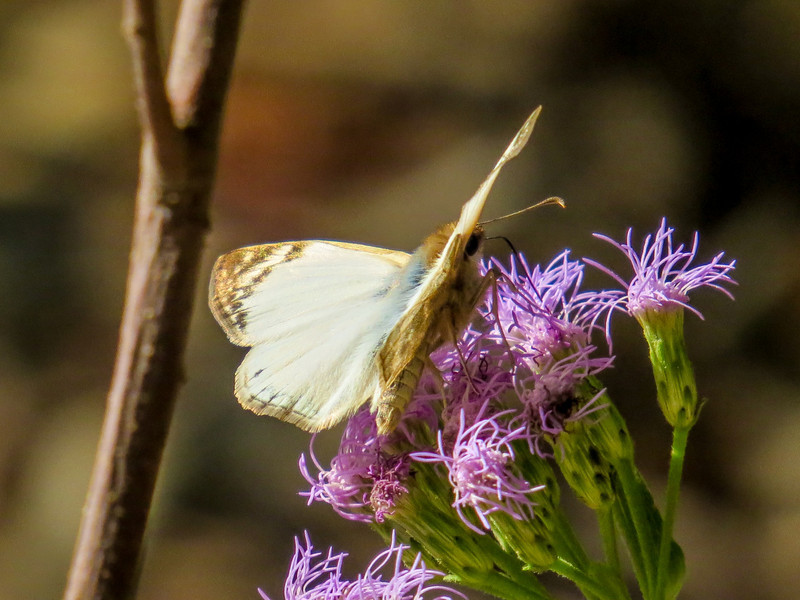 Lavinia Skipper, North American Butterfly Center, Mission TX