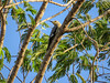 Golden-fronted Woodpecker, North American Butterfly Center, Mission TX