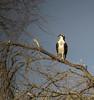 Osprey, Rio Grande River, Mission TX