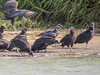 Black Vulture, Rio Grande River, Mission TX