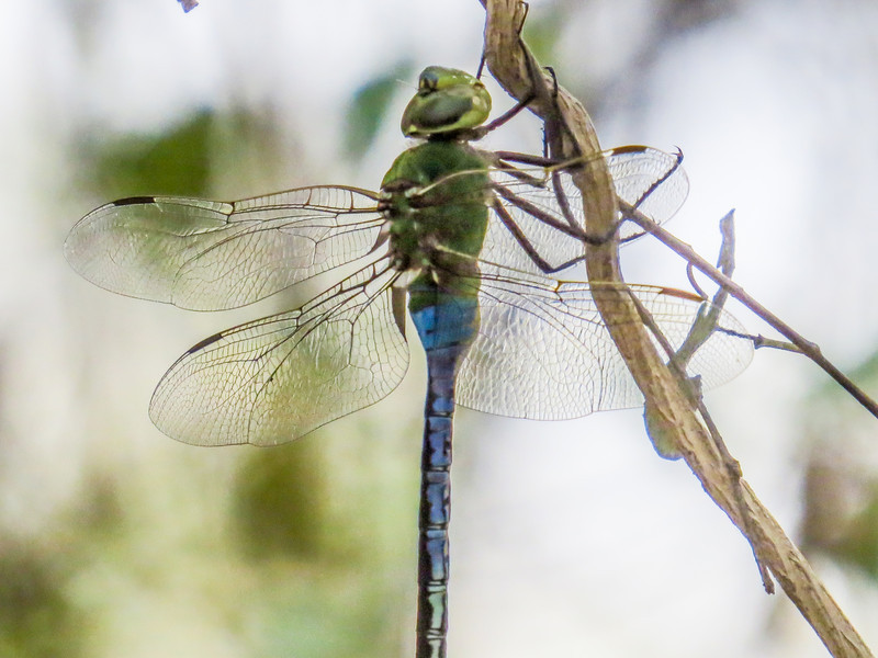 Common Green Darner, North American Butterfly Center, Mission TX