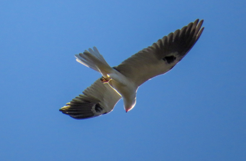 White-tailed Kite, Old Port Isabella Rd, TX