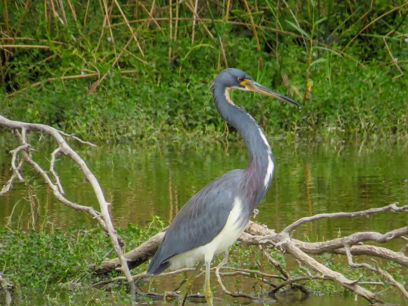 Tricolored Heron, Estero Llano Grande World Birding Center, Weslaco TX