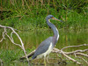 Tricolored Heron, Estero Llano Grande World Birding Center, Weslaco TX
