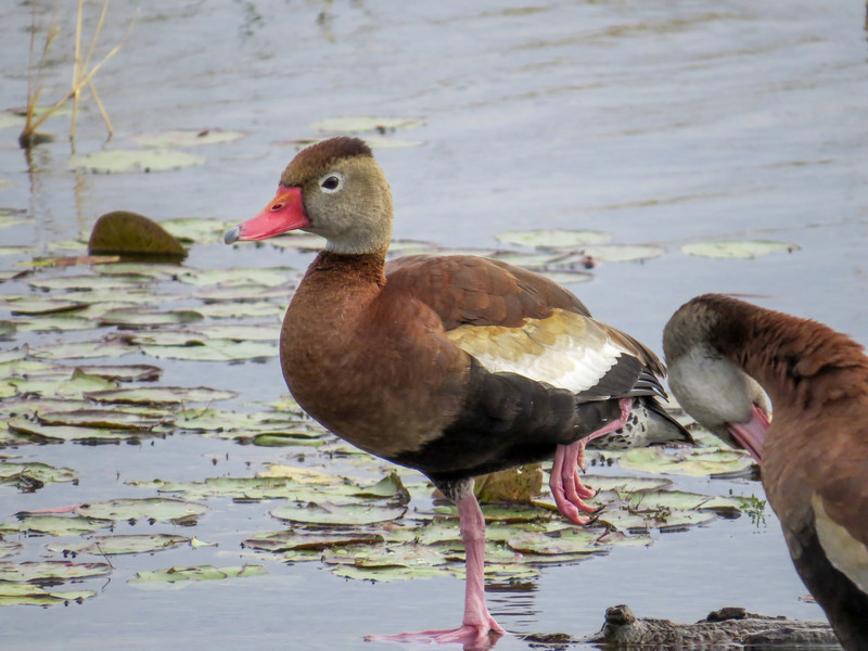 Black-bellied Whistling Duck, Estero Llano Grande World Birding Center, Weslaco TX