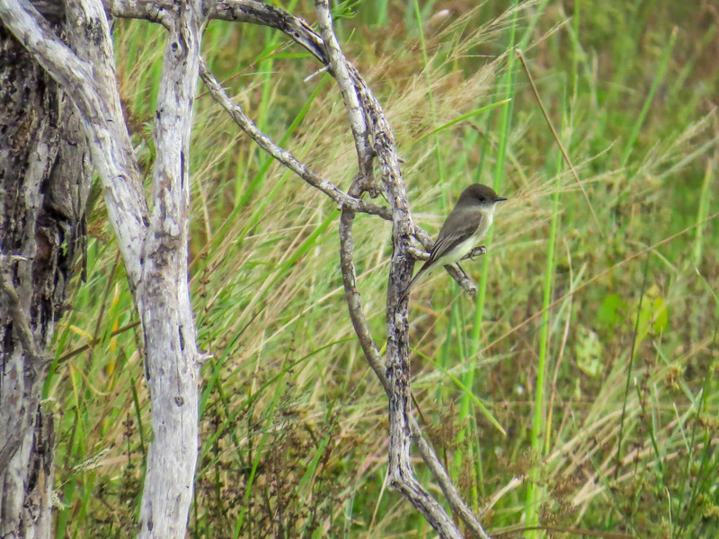 Eastern Phoebe, Estero Llano Grande World Birding Center, Weslaco TX