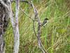 Eastern Phoebe, Estero Llano Grande World Birding Center, Weslaco TX