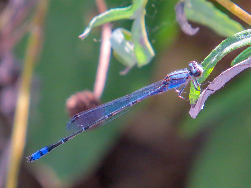 Neotropic Bluet, American Butterfly Center, Mission TX