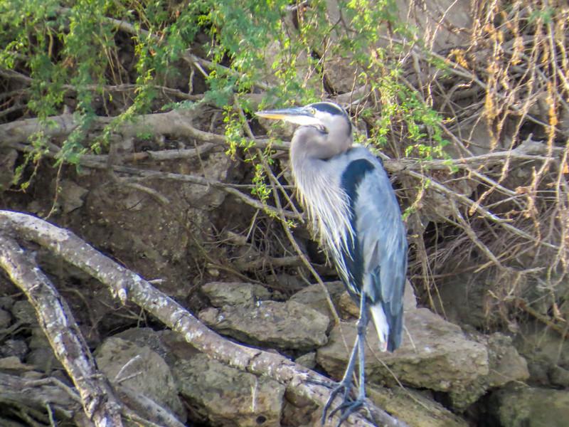 Great Blue Heron, Rio Grande River, Mission TX