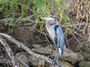 Great Blue Heron, Rio Grande River, Mission TX