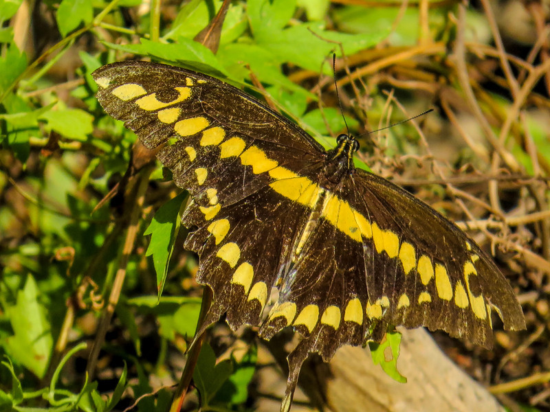Giant Swallowtail, North American Butterfly Center, Mission TX