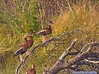 Black-bellied Whistling Ducks: Estero Llano Grande SP World Birding Center