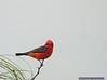 Vermilion Flycatcher: Estero Llano Grande SP World Birding Center
