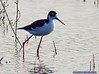 Black-necked Stilt: Estero Llano Grande SP World Birding Center