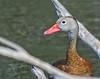 Black-bellied Whistling Duck: Edinburg Wetlands World Birding Center