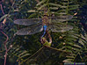 Dragonflies: Estero Llano Grande SP World Birding Center