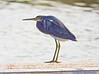 Tricolor Heron: Estero Llano Grande SP World Birding Center