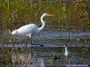 Great Egret: Estero Llano Grande SP World Birding Center