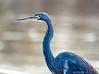 Tricolor Heron: Estero Llano Grande SP World Birding Center