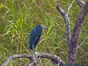 Little Blue Heron: Estero Llano Grande SP World Birding Center
