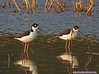 Black-necked Stilts: Estero Llano Grande SP World Birding Center