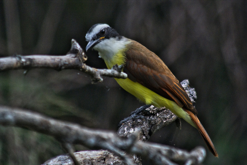 Great Kiskadee: Edinburg Wetlands World Birding Center