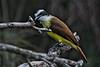 Great Kiskadee: Edinburg Wetlands World Birding Center