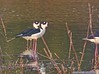 Black-necked Stilt: Estero Llano Grande SP World Birding Center