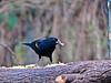 Red-winged Blackbird, Salaneno TX, Digiscoped, DiaScope 65FL