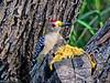Golden-fronted Woodpecker, Salanano, TX Digiscoped, DiaScope 65FL