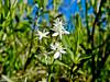 tiny wildflower, Saco Heath, Saco ME