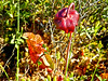 Pitcher Plant, Saco Heath, Saco ME