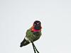 Anna's Hummingbird, Cabrillo Nat. Monument, San Diego CA