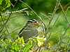 White-crowned Sparrow, Cabrillo Nat. Monument, San Diego CA