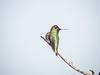 Black-chinned Hummingbird, Famosa Slough, San Diego CA