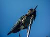 Anna's Hummingbird, Famosa Slough, San Diego CA