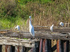 Mixed Egrets, Famosa Slough, San Diego CA