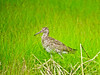 Willet, Scarborough Marsh, ME