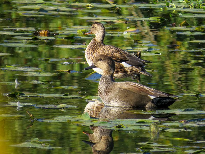 Gadwall, Center for Urban Horiculture/Union Bay Wild Area. Seattle WA
