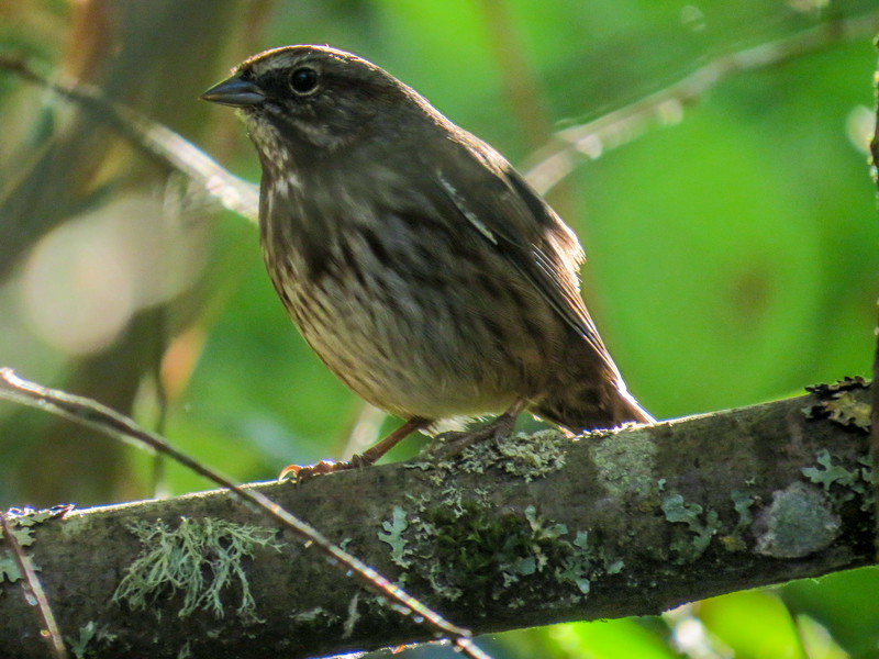 Song Sparrow, Center for Urban Horiculture/Union Bay Wild Area. Seattle WA