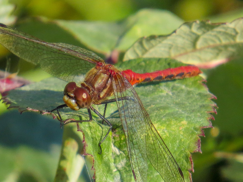 White-faced Meadowhawk, Center for Urban Horiculture/Union Bay Wild Area. Seattle WA