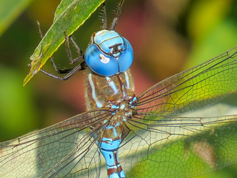 Blue-eyed Darner, Center for Urban Horiculture/Union Bay Wild Area. Seattle WA